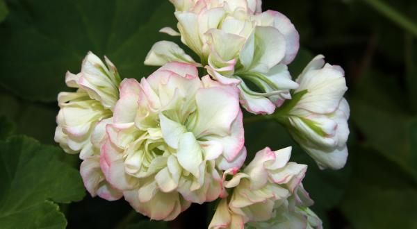 Geraniums & Iris