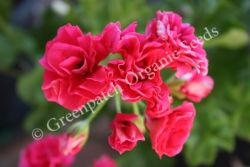 Geranium Ivy - Red Rose Bud