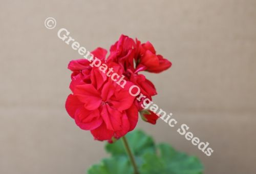 Geranium - Surprise 6 Pack Mixed