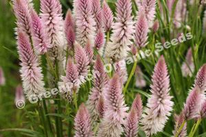 Celosia - Pink