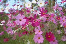Cosmos - Mixed Colours