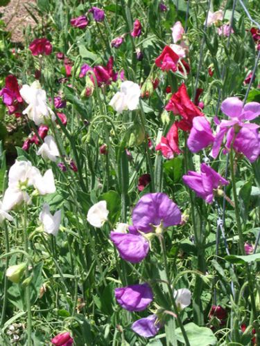 Sweet Pea - Mixed Colours