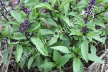 Basil - Licorice