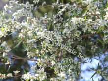 Lemon Scented Tea Tree