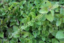 Oregano - Common Plant