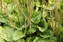 Plantain - Broadleaf