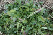 Watercress - Upland Plant