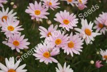 Marguerite Daisy - Single Pink