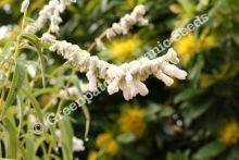 Mexican Sage - White Velour