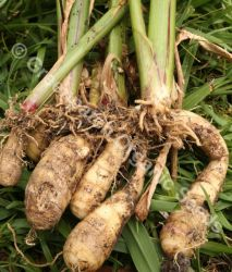 Arrowroot - West Indian
