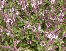 Basil - African Blue Plant