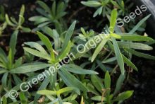 Tarragon - French Plant