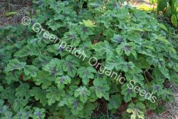 Geranium Scented - Peppermint Chocolate Plant