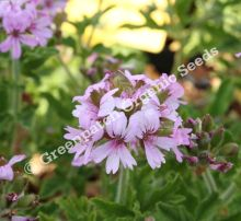 Geranium Scented - Robers Lemon Rose