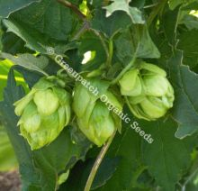 Hops - Pride of Ringwood