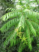 Indian Curry Tree