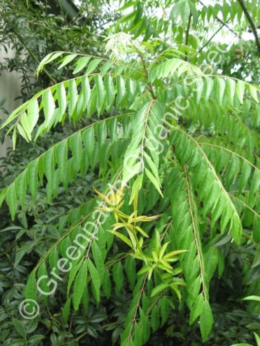 Indian Curry Tree Seed - Pre Order