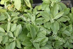 Indian Gingseng Plant