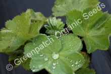 Lady's Mantle Plant