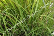 Lemongrass - East Indian Plant