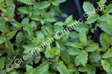 Mint - Ginger Plant