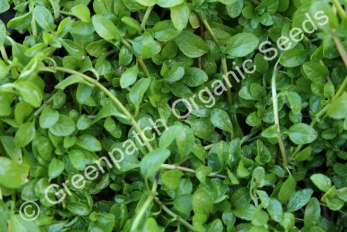 Mint - Pennyroyal Plant