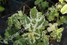 Mint - Variegated Apple Plant