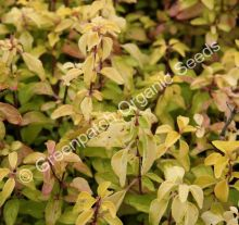 Oregano - Golden Plant