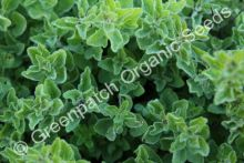 Oregano - Greek White Plant
