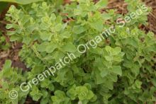 Oregano - Greek