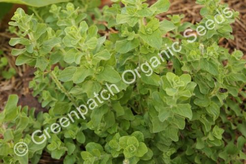 Oregano - Greek Plant