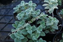 Oregano - Dittany Of Crete