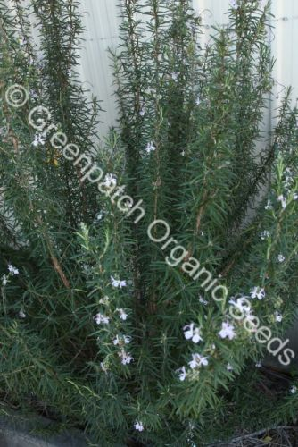 Rosemary - Portuguese