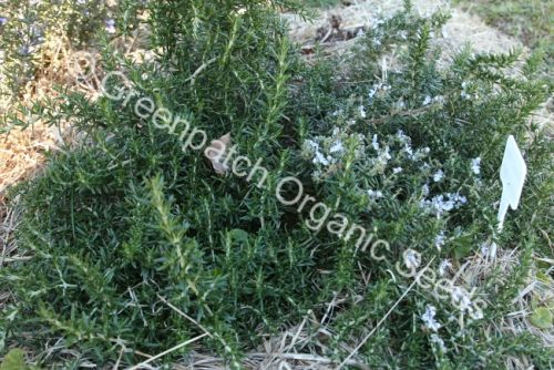 Rosemary - Prostrate Plant
