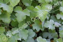 Geranium Scented - Peppermint