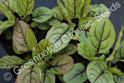 Sorrel - Red Plant