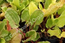 Sorrel - French Plant