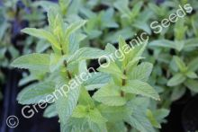 Mint - Spearmint Plant