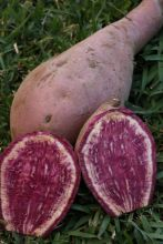 Sweet Potato - Kumara Plant