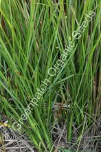 Vetiver Grass Plant