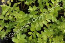 Watercress - Lebanese Plant