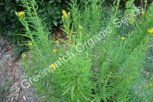 Tarragon - Winter Plant