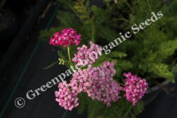 Yarrow - Cerise Queen