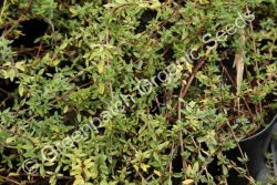 Thyme - Carraway Plant