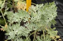 Wormwood Tree Plant