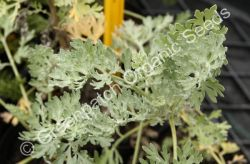 Wormwood Tree