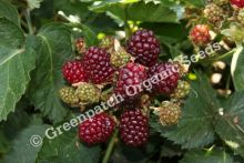 Blackberry Thornless Plant