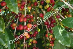 Coffee Arabica Plant