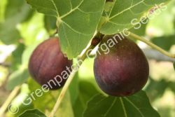 Fig Edible - Black Genoa