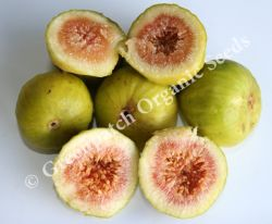 Fig Edible - White Genoa Plant